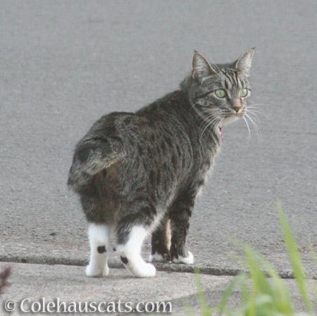Marnie, last seen 2016 - © Colehauscats.com