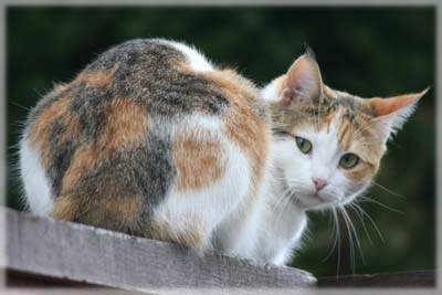 Colehaus Cats - Visiting Calico cat. © Colehaus Cats