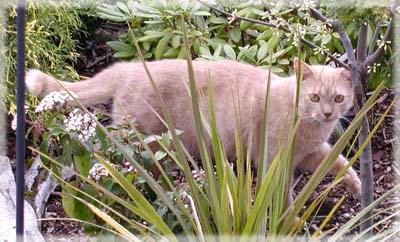 Colehaus Cats - Cinnamon. © Colehaus Cats