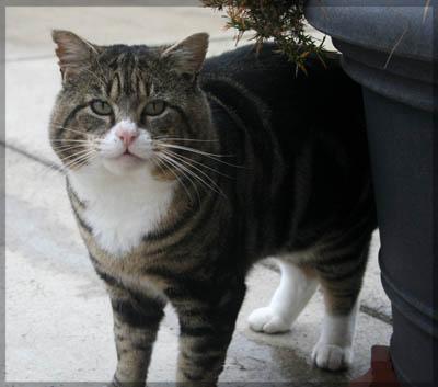Colehaus Cats - Geoffrey 2011. © Colehaus Cats