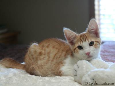 New Colehaus Cat Quint