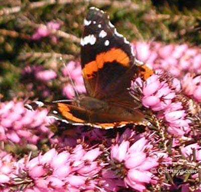 Orange Butterfly.