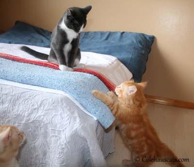 Miss Newton, Tessa & Pia - 2012. © Colehaus Cats