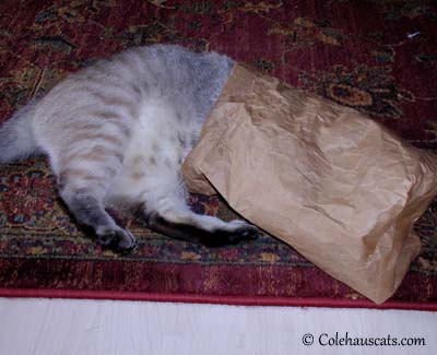 Bagged Maxx.  © Colehaus Cats.