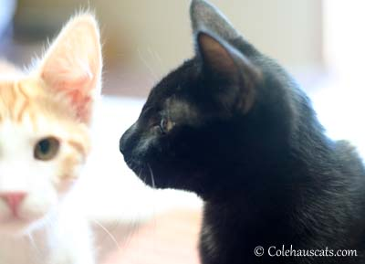 Quint and Olivia Growing Up. 2012 © Colehaus Cats