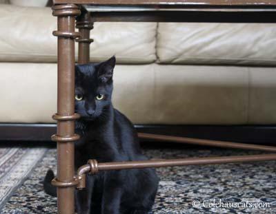 Olivia - 2012. © Colehaus Cats