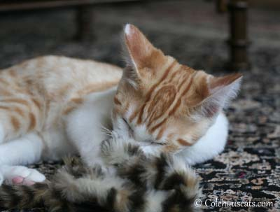 Quint - 2012. © Colehaus Cats