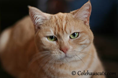 Miss Newton - 2013 © Colehaus Cats