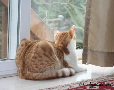 Quint Contemplating Spring Painting - 2013 © Colehaus Cats