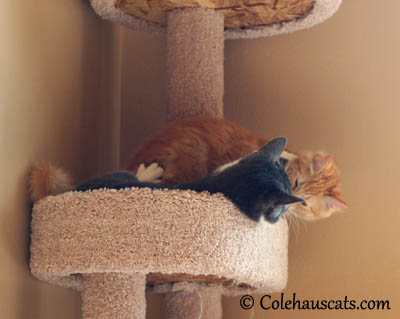 Kissing Wars - Tessa vs Pia - 2013 © Colehaus Cats
