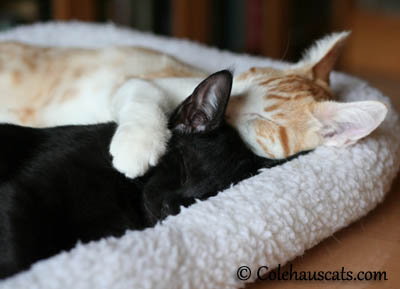 Naps with best friends are best - 2013 © Colehaus Cats