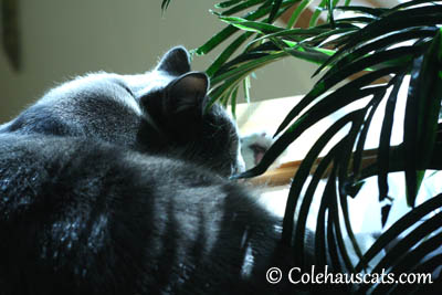 Tessa finds sun - 2013 © Colehaus Cats