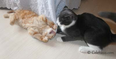 Kissing Wars - Tessa & Pia. © Colehaus Cats.