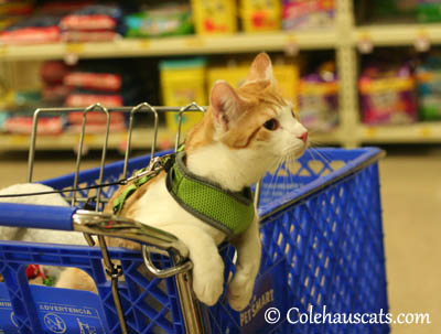 Quint out shopping - 2013 © Colehaus Cats
