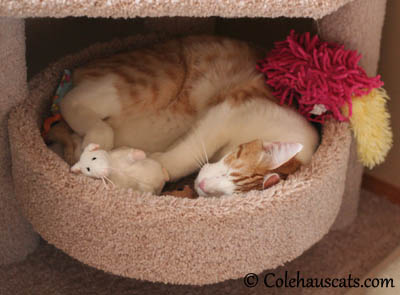 Quint sleeping with just some of his toys - 2013 © Colehaus Cats