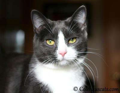 Tessa - 2013 © Colehaus Cats