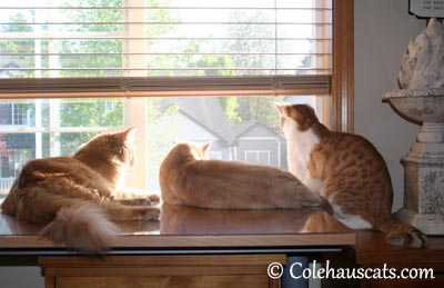 3 Gingers - 2013 © Colehaus Cats