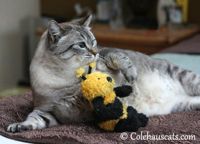 Maxx with his Busy Bee - 2013 © Colehaus Cats