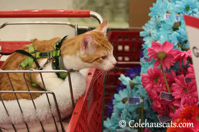 Quint likes the colorful flowers - 2013 © Colehaus Cats