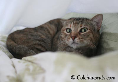 She's got those Crazy Eyes! - 2013 © Colehaus Cats