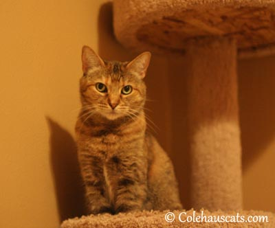 The typical Ruby stare - 2013 © Colehaus Cats
