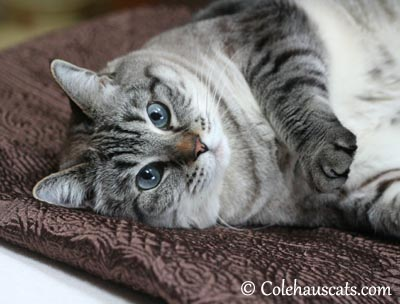 Maxx Blue Eyes. Never Forgotten - 2004-2015 © Colehaus Cats