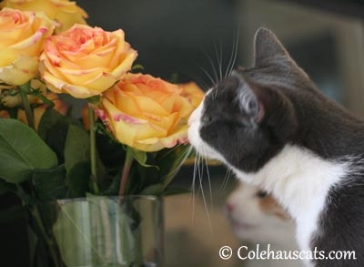 Tessa and her flowers - 2013 © Colehaus Cats