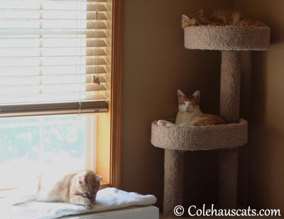 3 Gingers meeting. Again. - 2013 © Colehaus Cats