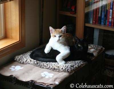 Olivia's no match for drape-y boy - 2013 © Colehaus Cats