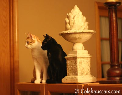 Statuesque times two - 2013 © Colehaus Cats