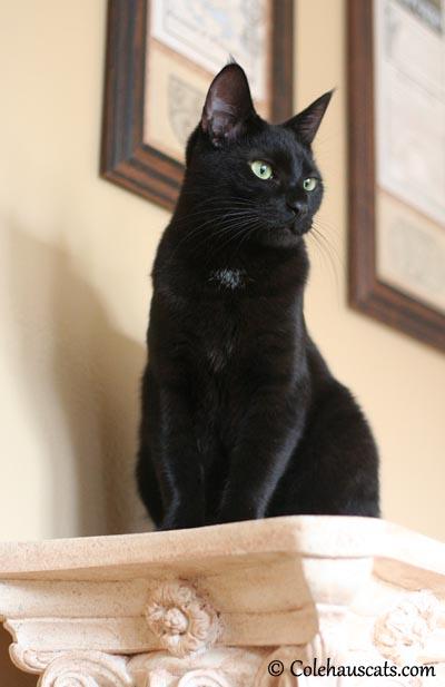 Olivia (Sweet Baby O) - 2013 © Colehaus Cats