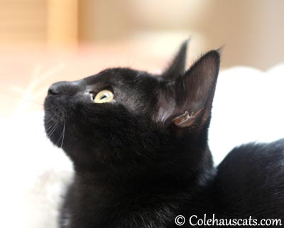 Sweet Olivia - 2013 © Colehaus Cats