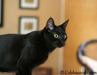 Sleek, slinky Olivia - 2013 © Colehaus Cats