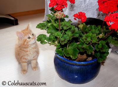 Little Pia Bean and her Firework Flowers. 2012 © Colehaus Cats
