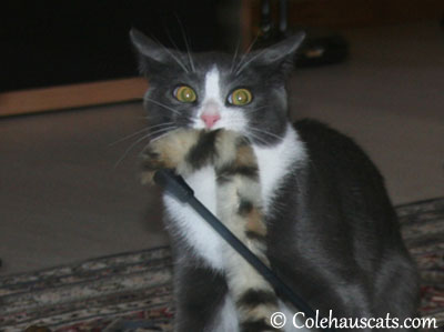 What Tessa wanted to do to the V-E-T's fingers - - 2013 © Colehaus Cats