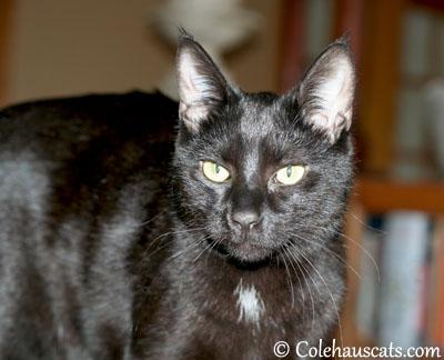 Olivia - June 2013 © Colehaus Cats