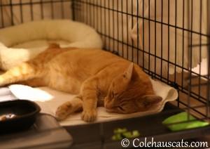 Meet foster kitty Erinn 'Zuzu Niblet' - 2013 © Colehaus Cats