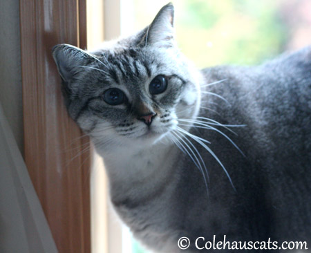 Maxx speaks - 2013 © Colehaus Cats