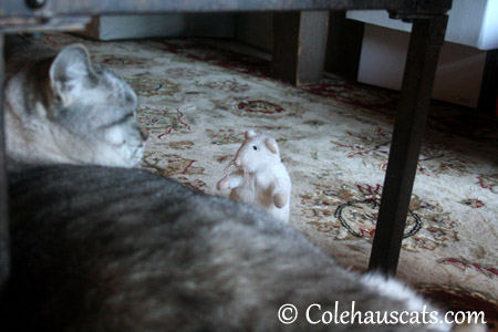 Maxx's White Rat gets a talking to - 2013 © Colehaus Cats