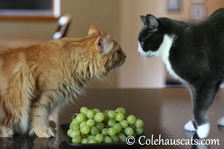 Pia's Grapes - 2013 © Colehaus Cats
