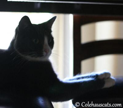 Crissy-Cross Paws Tessa - 2013 © Colehaus Cats