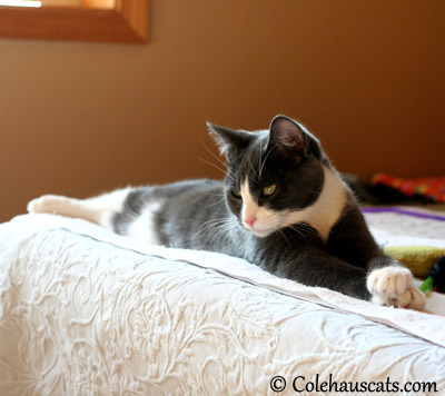 Tessa's Tabby striped belly - 2013 © Colehaus Cats