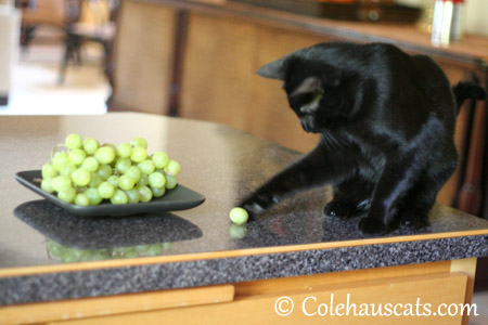 This grape is the unlucky one - 2013 © Colehaus Cats