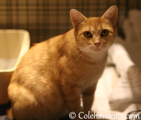 """I'm growing cute babies here!"" Erinn Zuzu says. - 2013 © Colehaus Cats"