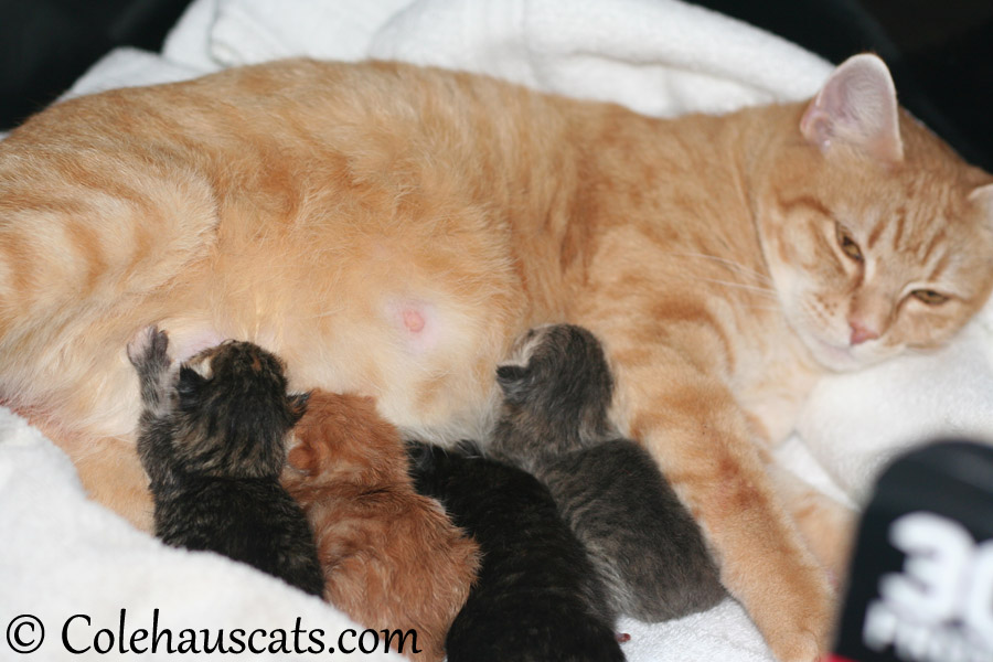 Erinn Zuzu and her kittens at last! - 2013 © Colehaus Cats