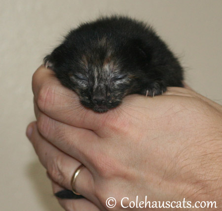 Illy Niblet, the dark Tortie girl, at one week, 10/12/2013 - 2013 © Colehaus Cats