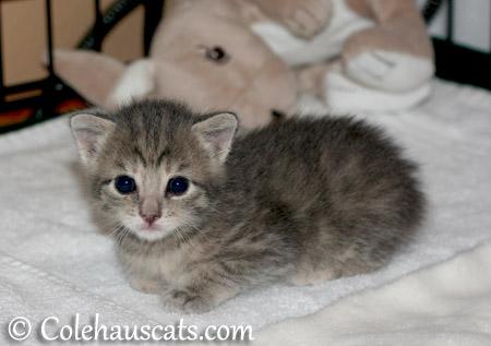 Little sweetie Robbie Niblet - 2013 © Colehaus Cats