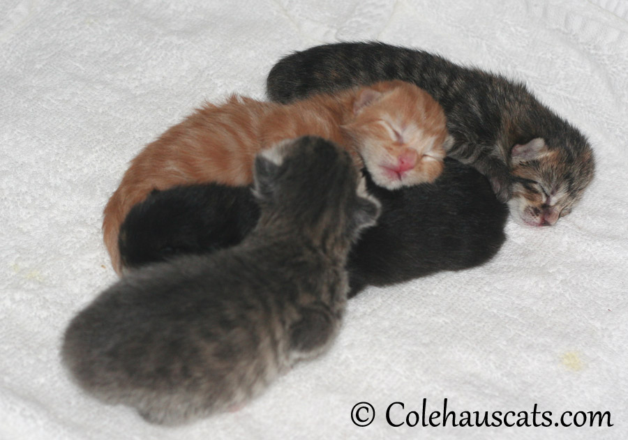 The Niblets (front top) Robbie, Russell, Illy & Viola - 2013 © Colehaus Cats