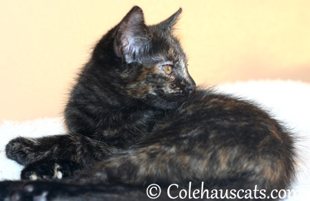 Pretty Miss Illy Niblet at 8 weeks old - 2013 © Colehaus Cats