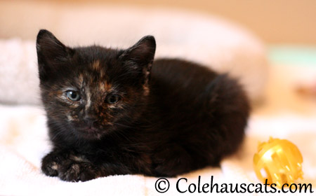 Illy Niblet's eye are starting to change - 2013 © Colehaus Cats